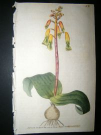 Curtis 1789 Hand Col Botanical Print. Three Coloured Lachenalia 82
